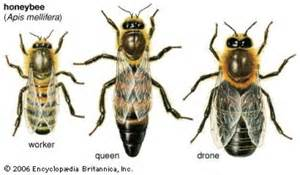 The Three Castes of Honeybee